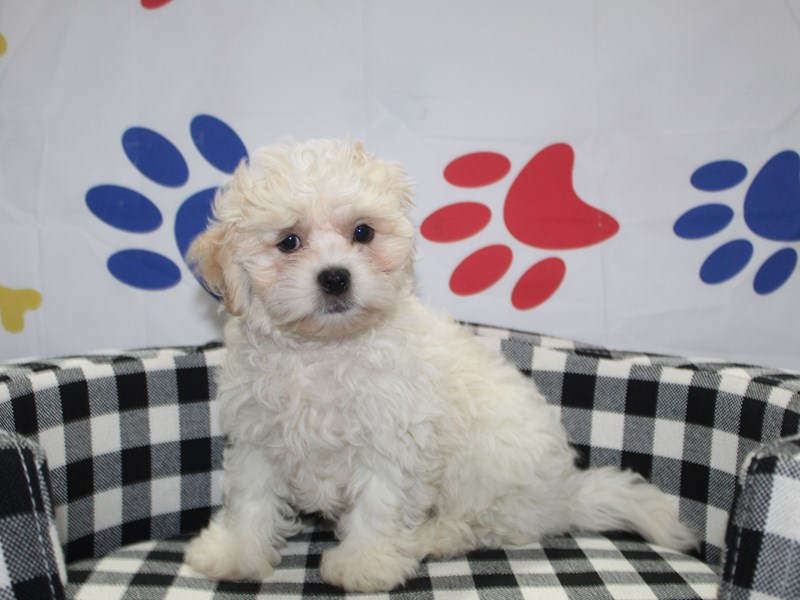 Shih-Poo-Female-LIGHT GOLD & WHT-2997931-Pet City Houston
