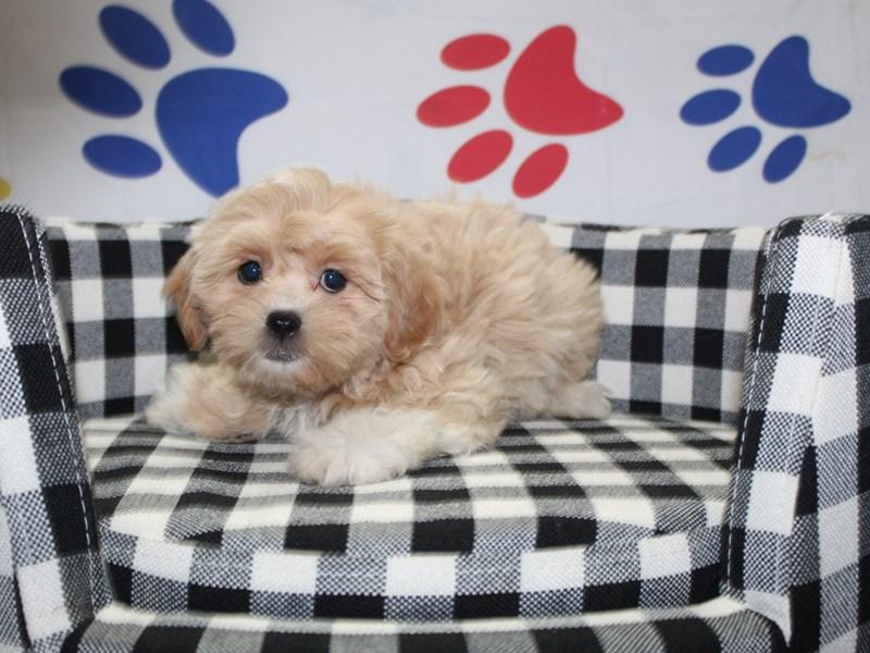 Shih-Poo-Female-APCT WHT MKGS-2997919-Pet City Houston