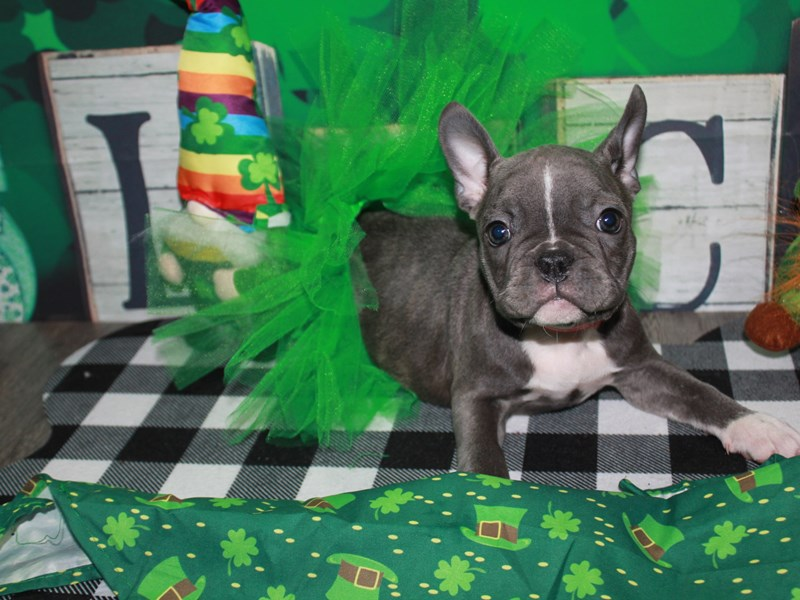 French Bulldog-Female-BLUE-3008839-Pet City Houston