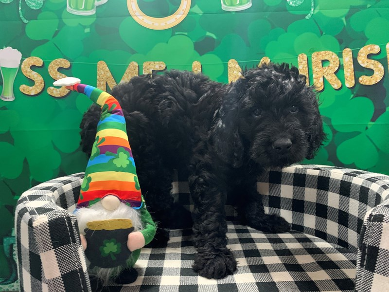 Goldendoodle-Female-Black-3017376-Pet City Houston