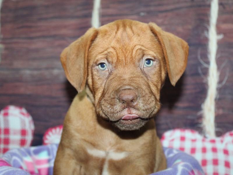 Dogue De Bordeaux-Male-Red-2973821-Pet City Houston