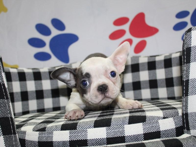 Boston Terrier-Female-Blue / White-2997797-Pet City Houston