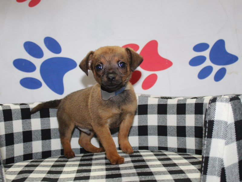 Chihuahua-Male-Red Sable-2997800-Pet City Houston