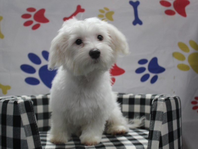 Maltese-Male-WHITE-2957889-Pet City Houston