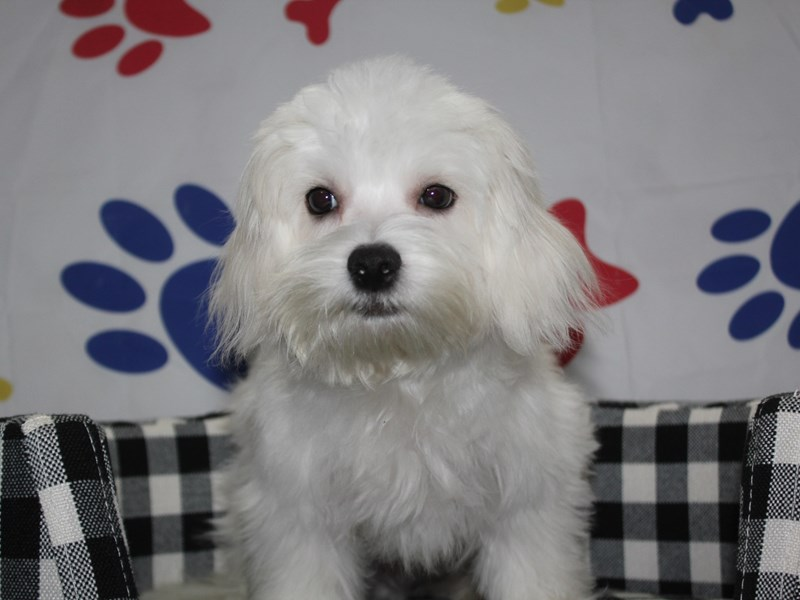 Maltese-Male-WHITE-2957872-Pet City Houston