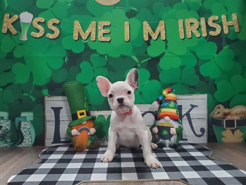 French Bulldog-Female-WHITE-3008827-Pet City Houston