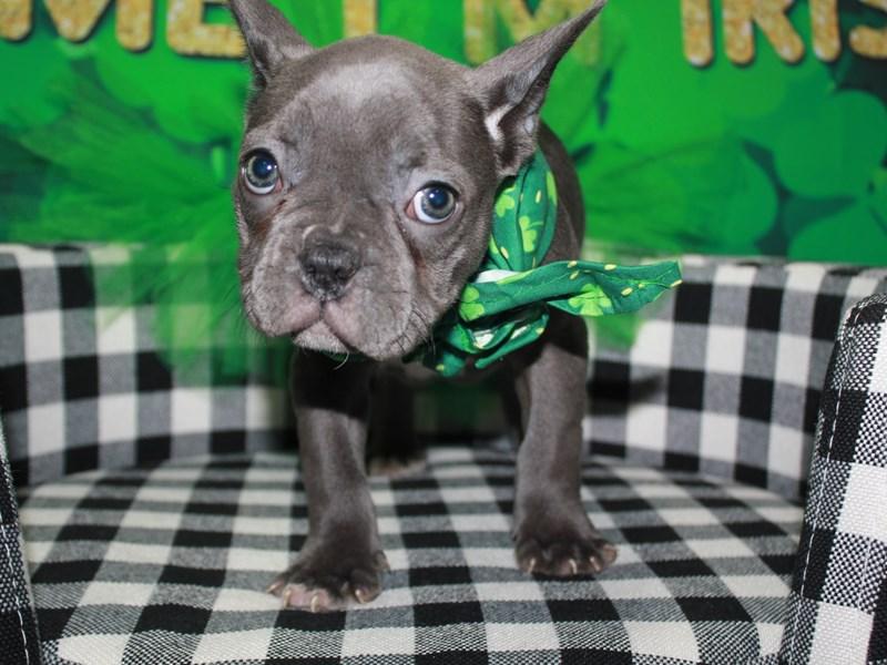 French Bulldog-Female-BLUE-3008833-Pet City Houston
