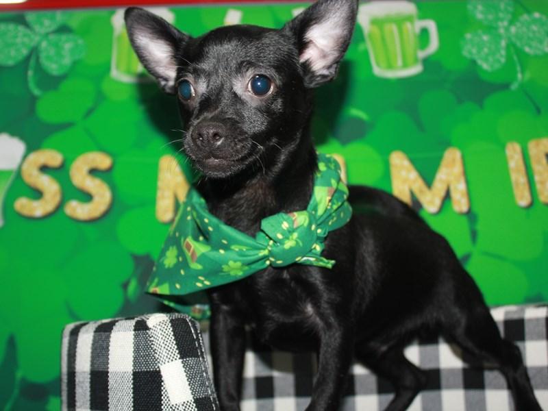 Chihuahua-Male-Black-2905820-Pet City Houston