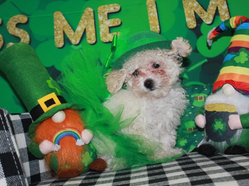 Toy Poodle-Female-CREAM-3018223-Pet City Houston