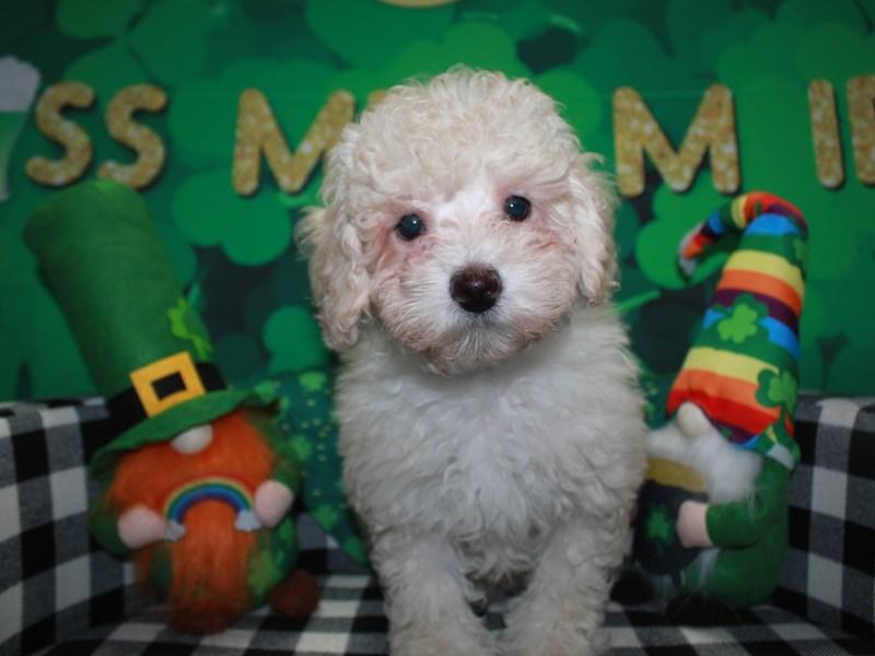 Toy Poodle-Female-CREAM-3018208-Pet City Houston