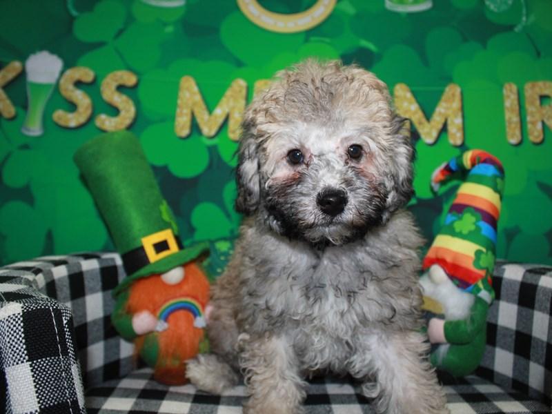 Toy Poodle-Male-SLV BLK MKGS-3018194-Pet City Houston