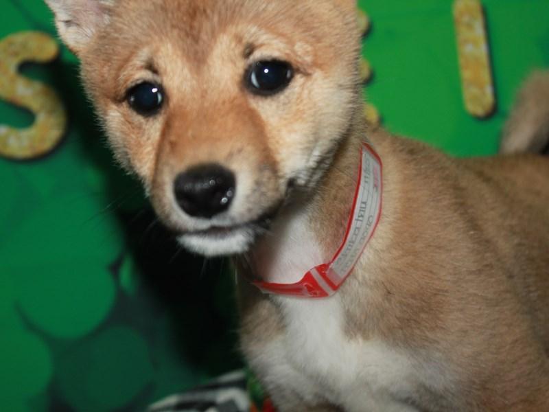 Shiba Inu-Female-RED/WHITE-3018743-Pet City Houston