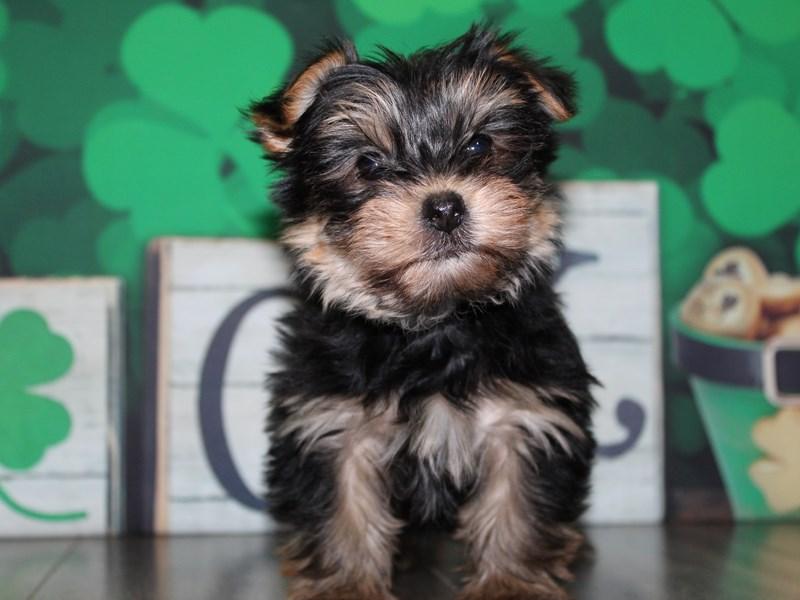 Yorkshire Terrier-Male-BLK/TAN-3028179-Pet City Houston