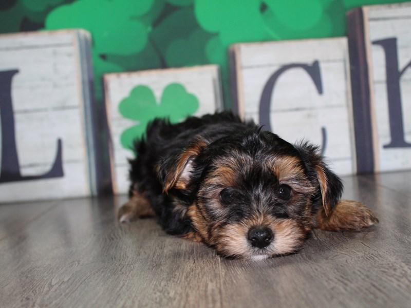Yorkshire Terrier-Male-BLK/TAN-3028177-Pet City Houston