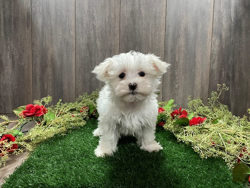 Maltese-Female-WHITE-3027671-Pet City Houston