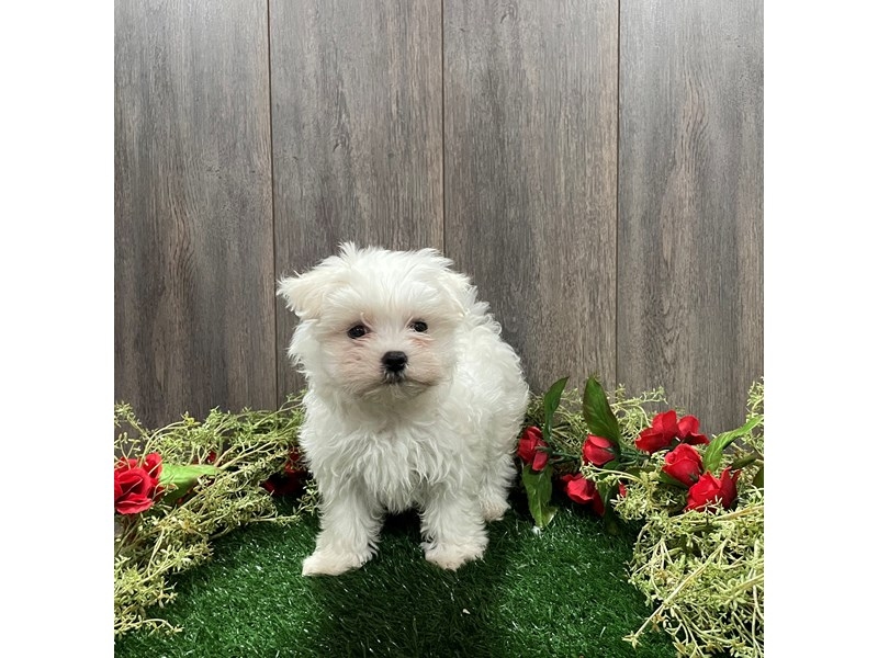 Maltese-Female-WHITE-3027665-Pet City Houston