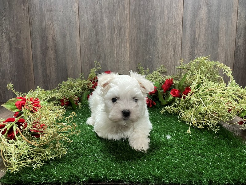 Maltese-Male-WHITE-3027698-Pet City Houston