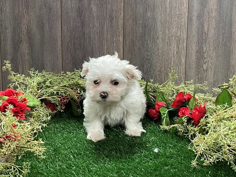 Maltese-Female-WHITE-3027705-Pet City Houston