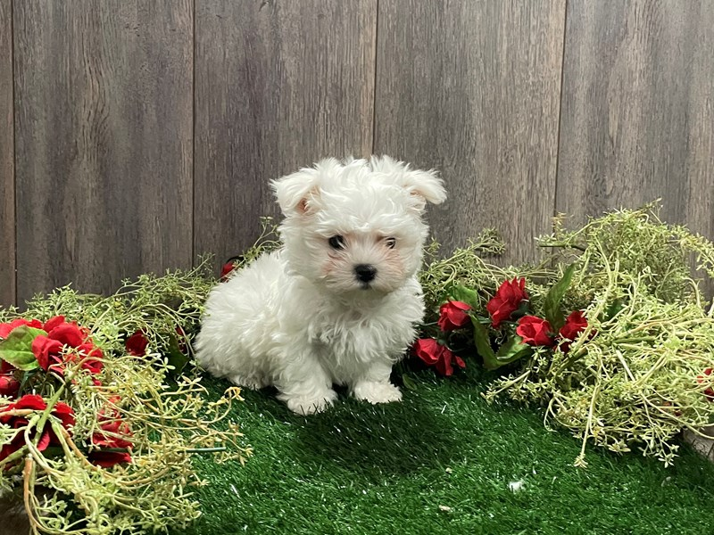 Maltese-Male-WHITE-3027701-Pet City Houston