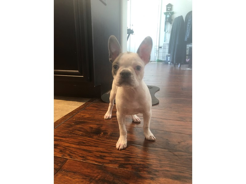 Boston Terrier-Female-Blue / White-2997793-Pet City Houston