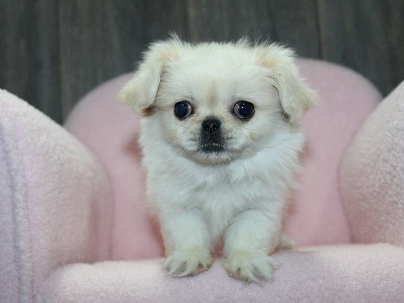 Pekingese-Female-CREAM-3047969-Pet City Houston