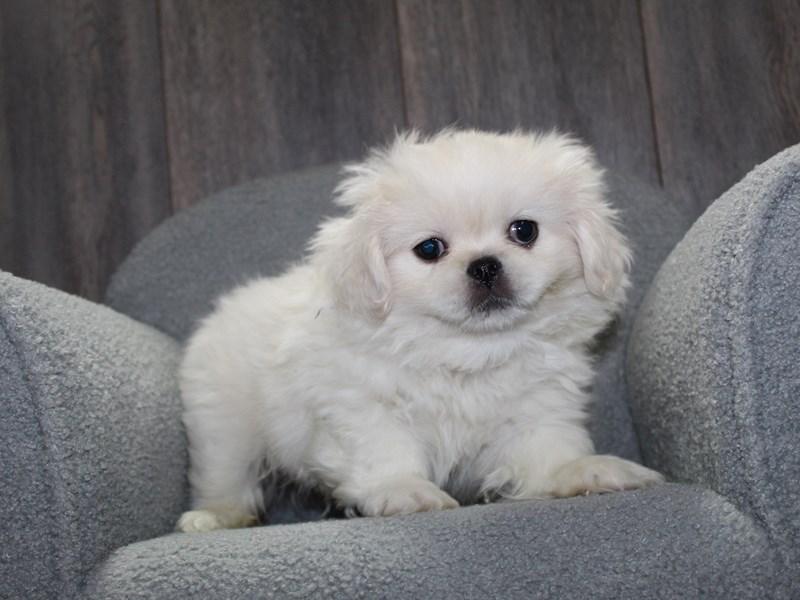 Pekingese-Male-CREAM-3047962-Pet City Houston