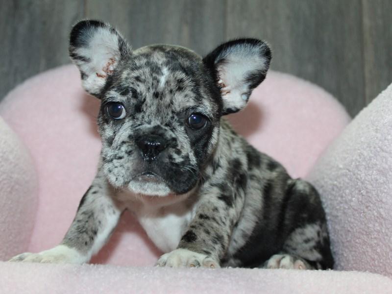 French Bulldog-Female-Blue Merle-3058058-Pet City Houston