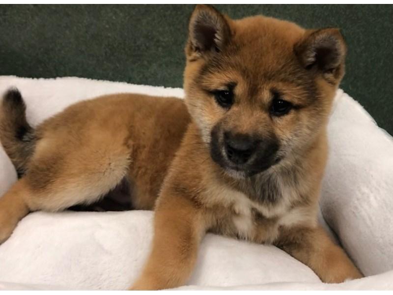 Shiba Inu-Male-Red-3027957-Pet City Houston