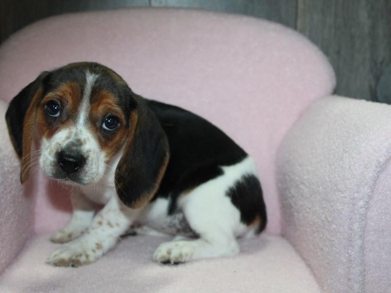 Beagle-Female-TRI-3058089-Pet City Houston