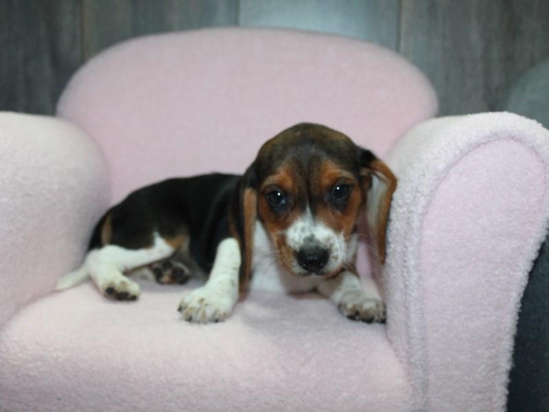 Beagle-Female-TRI-3058093-Pet City Houston