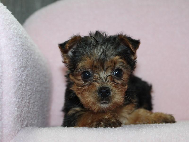 Yorkshire Terrier-Female-BLK/TAN-3058173-Pet City Houston