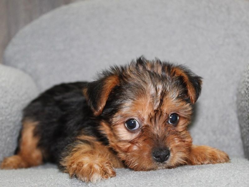 Yorkshire Terrier-Male-BLK/TAN-3058174-Pet City Houston