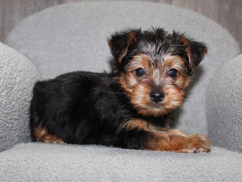 Yorkshire Terrier-Male-BLK/TAN-3058171-Pet City Houston