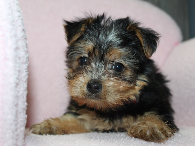 Yorkshire Terrier-Female-BLK/TAN-3058169-Pet City Houston