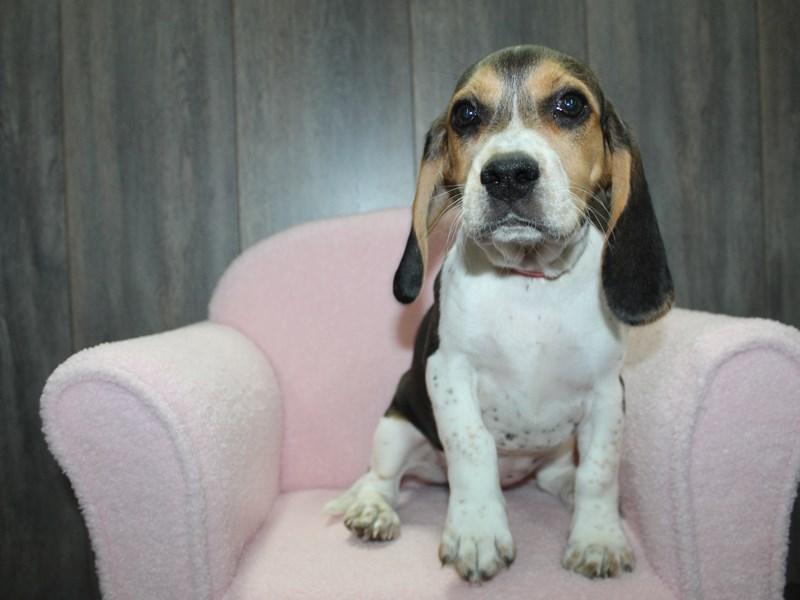Beagle-Female-TRI-3057858-Pet City Houston