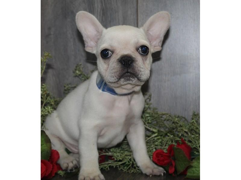 French Bulldog-Male-Cream-3068670-Pet City Houston