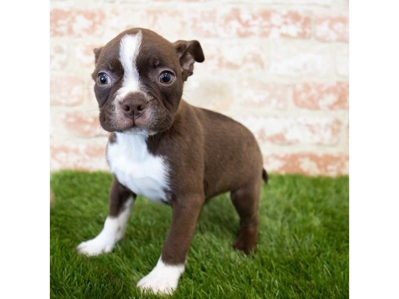 Boston Terrier-Male-Seal / White-3098559-Pet City Houston