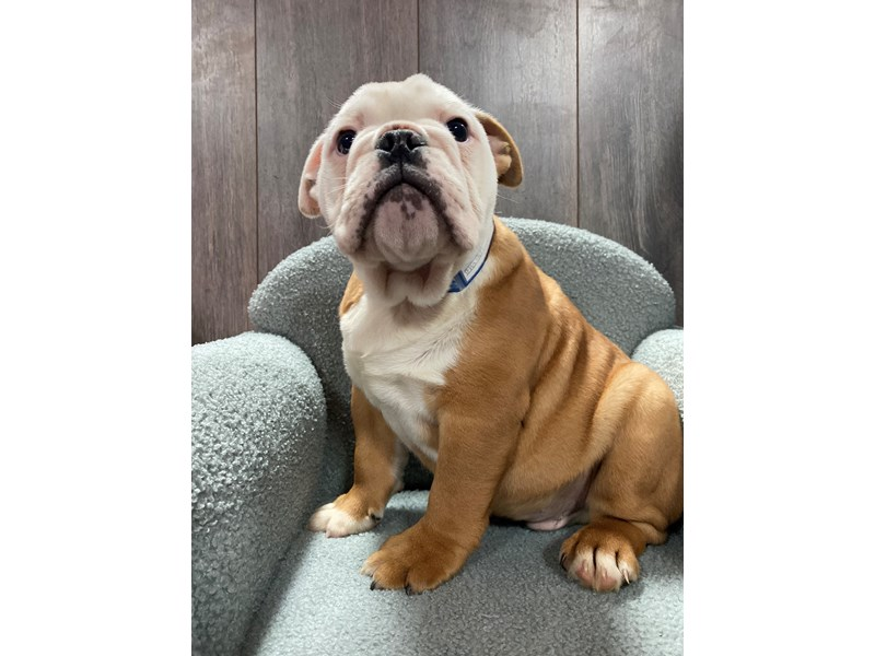 English Bulldog-Male-Fawn/White-3101681-Pet City Houston