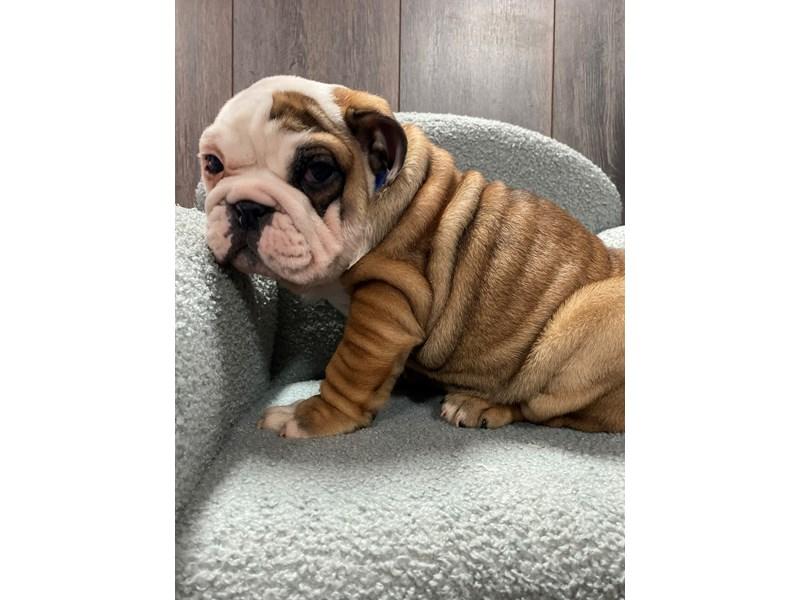 English Bulldog-Male-Fawn/White-3101677-Pet City Houston