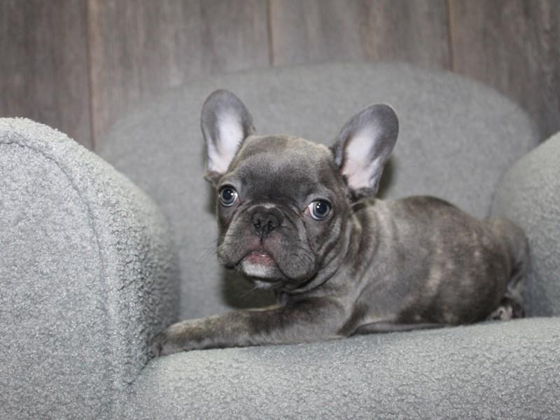 French Bulldog-Male-BLUE-3058028-Pet City Houston