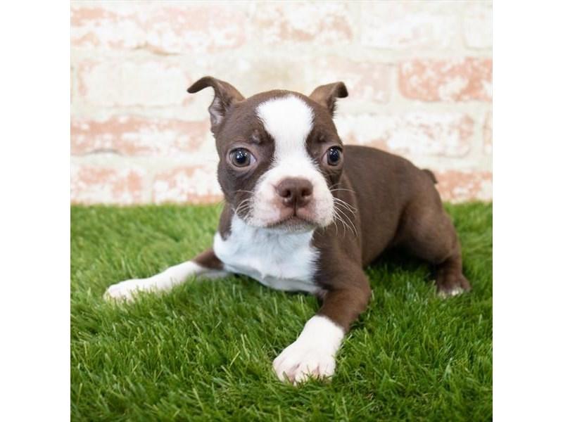 Boston Terrier-Female-Seal / White-3098558-Pet City Houston