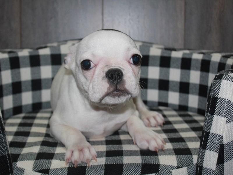 French Bulldog-Male-BRINDLE/ WHITE-3027241-Pet City Houston
