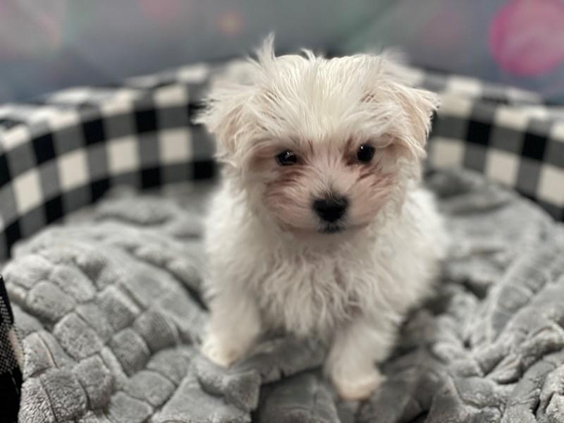Maltese-Male-WHITE-3101757-Pet City Houston