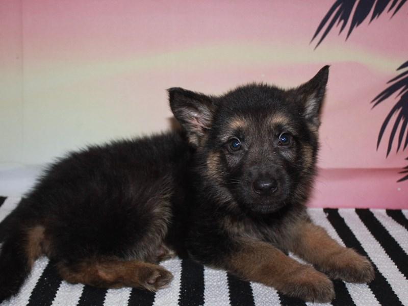 German Shepherd-Male-BLK/TAN-3123548-Pet City Houston