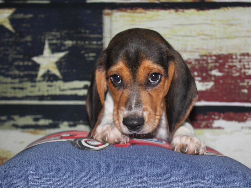 Beagle-Male-TRI-3123564-Pet City Houston
