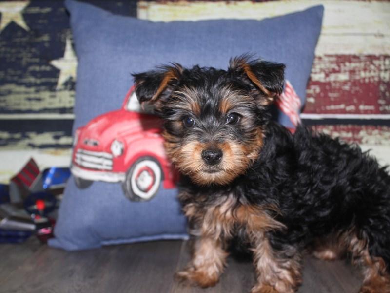 Yorkshire Terrier-Female-BLK/TAN-3124310-Pet City Houston