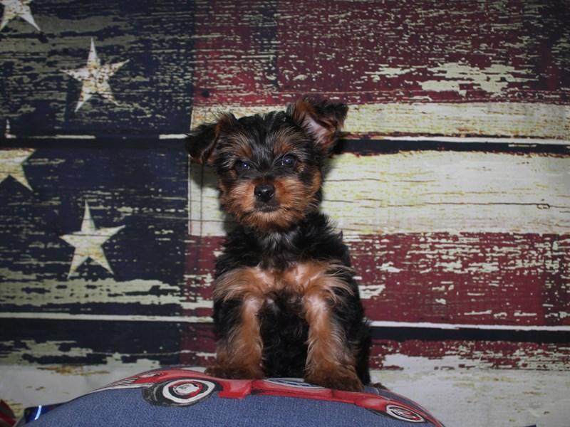 Yorkshire Terrier-Female-BLK/ TAN-3124364-Pet City Houston