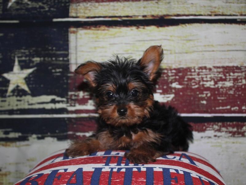 Yorkshire Terrier-Female-BLK/ TAN-3124354-Pet City Houston