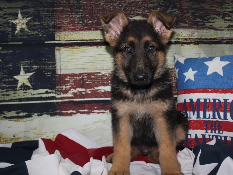 German Shepherd-Male-BLK/TAN-3133765-Pet City Houston