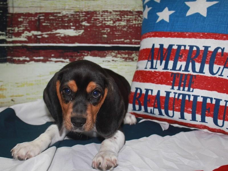 Beagle-Male-TRI-3123579-Pet City Houston